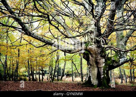 European Beech or Common Beech (Fagus sylvatica). Gorbeia Natural Park.  Alava, Basque Country, Spain. - Stock Photo