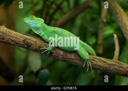 Plumed basilisk (Basiliscus plumifrons), also known as the green basilisk. Female basilisk. Wildlife animal. - Stock Photo