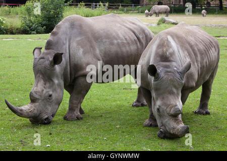 Southern white rhinoceros (Ceratotherium simum simum) at Augsburg Zoo in Bavaria, Germany. - Stock Photo