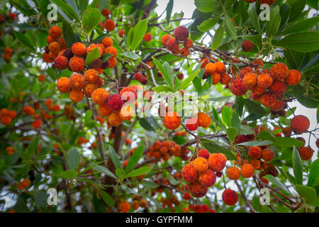 Berries on a strawberry tree (Arbutus unedo). An evergreen shrub, the strawberry tree is widespread in the Mediterranean - Stock Photo