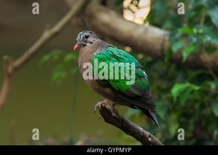 Common emerald dove (Chalcophaps indica). Wildlife animal. - Stock Photo