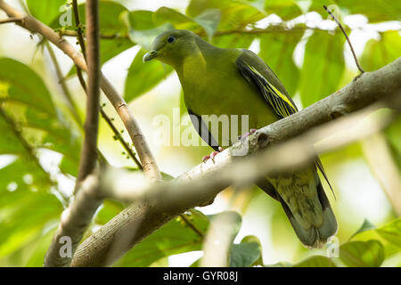 The pompadour green pigeon is a pigeon complex in the genus Treron. It is widespread in forests of southern and - Stock Photo