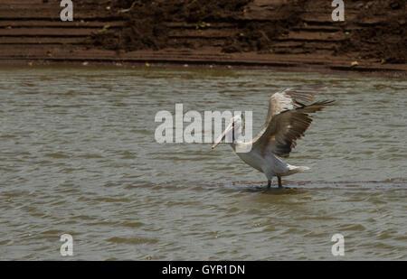 Pelican (Pelecanus onocrotalus) - Stock Photo
