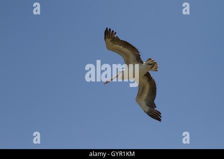 Pelican (Pelecanus onocrotalus) flight - Stock Photo