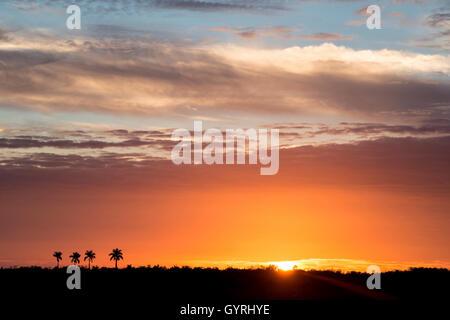 Sunset and Royal Palm (Roystonea oleracea) trees of Paradise Key & Royal Palm Hammock, Everglades National Park - Stock Photo