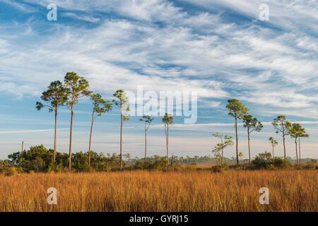 Sawgrass Prairie and Slash Pine Trees (Pinus elliottii), Everglades National Park, Florida USA  Dembin - Stock Photo