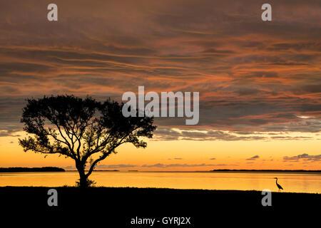Buttonwood Tree (Conocarpus erectrus) at sunrise & Great Egret (Ardea alba) Florida Bay, Everglades NP Florida USA - Stock Photo