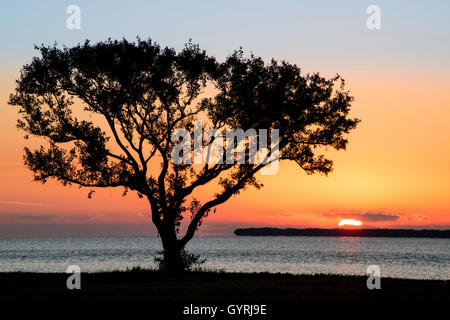 Buttonwood Tree (Conocarpus erectrus) at sunrise & Great Egret (Ardea alba) Florida Bay, Everglades NP Florida USA - Stock Photo