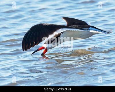 Black Skimmer Skimming - Stock Photo
