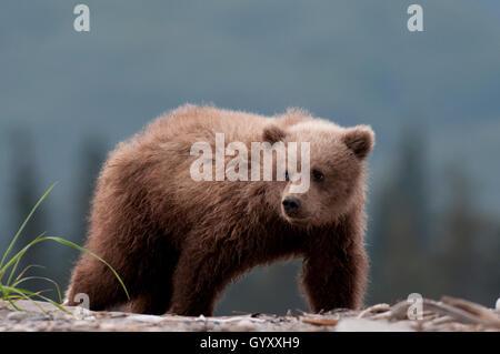 Brown bear cub (Ursus arctos) in Lake Clark National Park, Alaska - Stock Photo