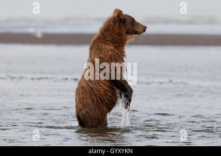 Brown bear standing up looking for salmon in Lake Clark National Park, AK - Stock Photo