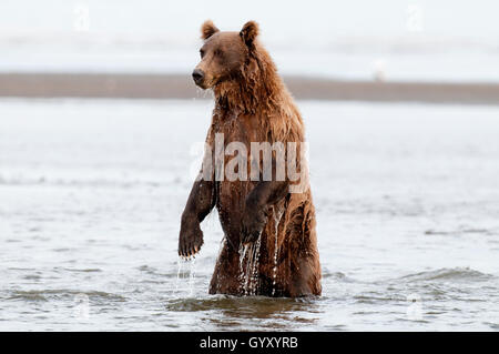 Brown bear (Ursus arctos) standing up looking for salmon in Lake Clark National Park, AK - Stock Photo