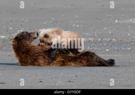 Brown bear (Ursus arctos) sow nursing cubs in Lake Clark National Park, AK - Stock Photo