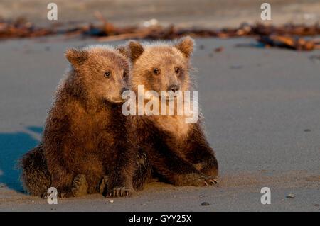 Brown bear cubs (Ursus arctos) resting on beach in Lake Clark National Park, Alaska - Stock Photo
