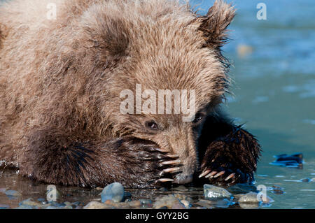 Brown bear cub (Ursus arctos) resting on beach with his paws over his nose in Lake Clark National Park, Alaska - Stock Photo