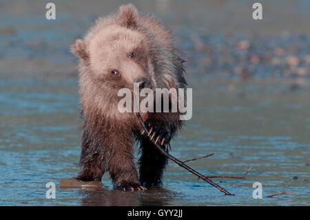 Brown bear cub (Ursus arctos) playing with stick in Lake Clark National Park, Alaska
