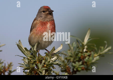 Common linnet (Carduelis cannabina), male, Texel, The Netherlands - Stock Photo