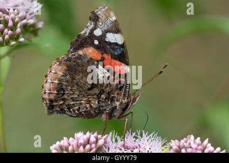 Red Admiral (Vanessa atalanta) on flower, Burgenland, Austria - Stock Photo