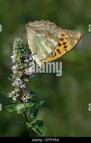 Silver-washed fritillary (Argynnis paphia) on flower, Burgenland, Austria - Stock Photo