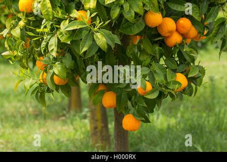 ripe oranges growing on tree - Stock Photo