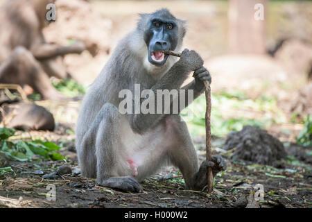 Drill (Mandrillus leucophaeus), Primatenart aus der Familie der Meerkatzenverwandten. Zusammen mit dem Mandrill - Stock Photo