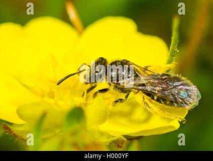 Sandwespe, Sand-Wespe, Andrena falsifica (Andrena falsifica), Weibchen bei der Nahrungsaufnahme auf der Bluete des - Stock Photo