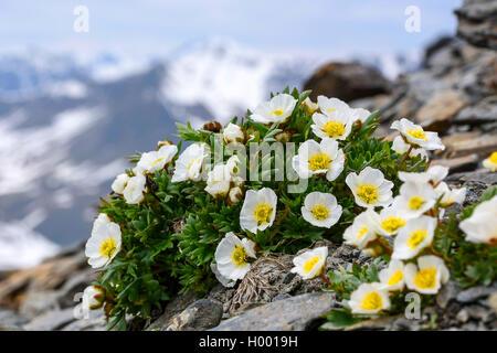 glacier crowfoot (Ranunculus glacialis), blooming, Austria - Stock Photo