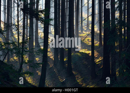 Norway spruce (Picea abies), morning haze in the coniferous forest, Germany, Lower Saxony, Harz - Stock Photo