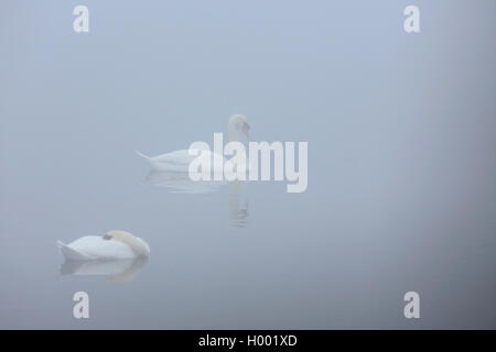 mute swan (Cygnus olor), swimming couple in mist, Netherlands, Flevoland - Stock Photo