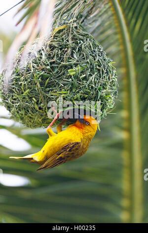 Cape weaver (Ploceus capensis), male build the nest, South Africa, Knysna