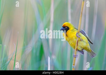 African masked weaver (Ploceus velatus), male sits in reed, South Africa, Western Cape, Karoo National Park - Stock Photo
