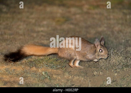 springhare, springhaas, jumping hare (Pedetes capensis), looks for food at night, South Africa, Eastern Cape, Mountain - Stock Photo