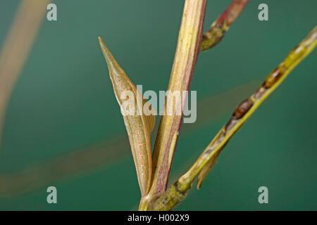 Aurorafalter, Aurora-Falter (Anthocharis cardamines), Guertelpuppe, gut getarnt in einem Fruchtstand der Knoblauchsrauke, - Stock Photo
