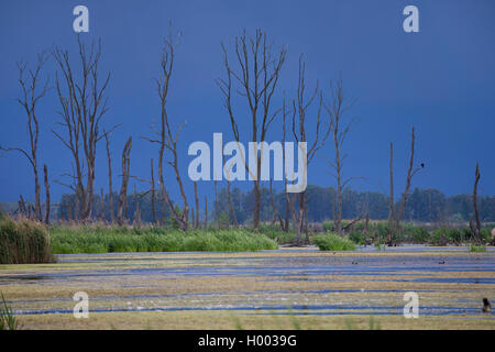 flood area with dead trees at river Peene, Germany, Mecklenburg-Western Pomerania, Anklam - Stock Photo