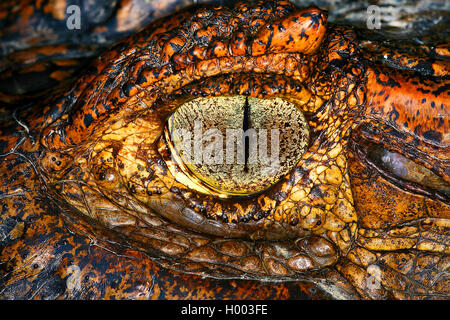 spectacled caiman (Caiman crocodilus), eye, Costa Rica - Stock Photo