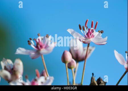 Schwanenblume, Schwanen-Blume, Wasserliesch, Blumenbinse, Doldige Schwanenblume, Wasserviole (Butomus umbellatus), - Stock Photo