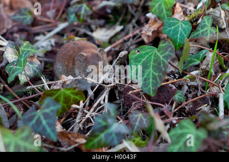 common vole (Microtus arvalis), on forest floor between ivy, Germany - Stock Photo