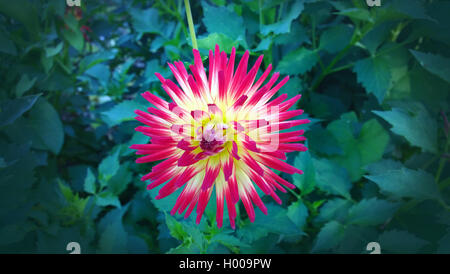 Beautiful cactus dahlia flower,  petals variegated in red and yellow against a dark green blurred background - Stock Photo