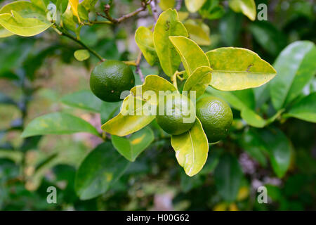 Seville orange (Citrus aurantium, Citrus x aurantium), fruits on a tree, Seychelles, Mahe - Stock Photo
