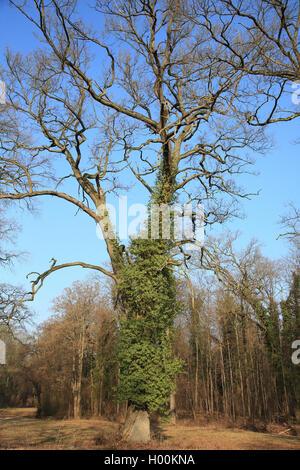 Gemeiner Efeu, Gewoehnlicher Efeu (Hedera helix), Eichenstamm mit Efeu im Winter, Deutschland | English ivy, common - Stock Photo