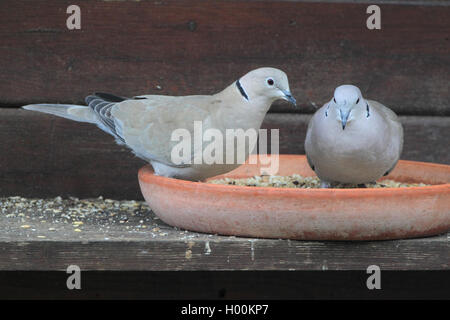 Tuerkentaube, Tuerken-Taube (Streptopelia decaocto), zwei Tuerkentauben am Futterplatz, Deutschland | collared dove - Stock Photo