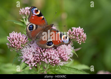 Peacock butterfly, European Peacock (Inachis io, Nymphalis io), on purple boneset, view from above, Germany, Schleswig-Holstein