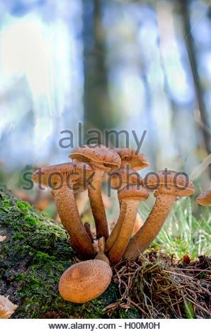Hallimasch   (Armillaria mellea), Fruchtkoerper auf Waldboden, Seitenansicht, Deutschland   honey fungus (Armillaria - Stock Photo