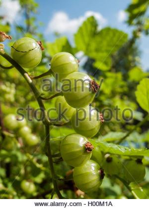 Rote Johannisbeere (Ribes rubrum), unreife Fruechte am Strauch, Deutschland   northern red currant (Ribes rubrum), - Stock Photo