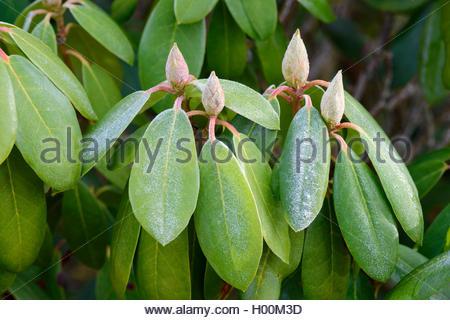 Rhododendron (Rhododendron spec.), Raureif auf Rhododendron, Deutschland | rhododendron (Rhododendron spec.), hoar - Stock Photo