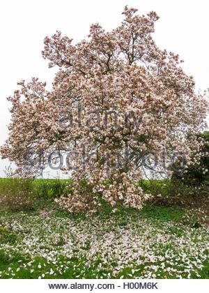 Tulpen-Magnolie, Tulpenmagnolie, Garten-Magnolie, Gartenmagnolie (Magnolia x soulangiana, Magnolia soulangiana, - Stock Photo