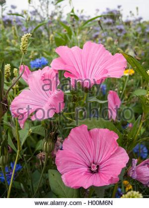 Bechermalve, Becher-Malve, Gartenlavatera, Garten-Lavatera (Lavatera trimestris), bluehend in einem Bluehstreifen, - Stock Photo