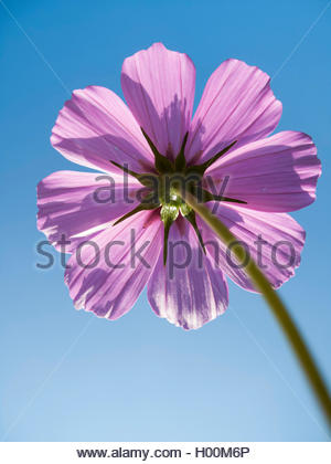 Schmuckkoerbchen, Schmuck-Koerbchen, Fiederblaettrige Schmuckblume, Cosmea, Kosmee (Cosmos bipinnatus), Bluetenkoepfchen - Stock Photo