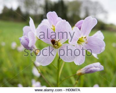 Wiesenschaumkraut, Wiesen-Schaumkraut (Cardamine pratensis), Blueten, Deutschland | Bog Pink, Cuckoo Flower, Lady's - Stock Photo