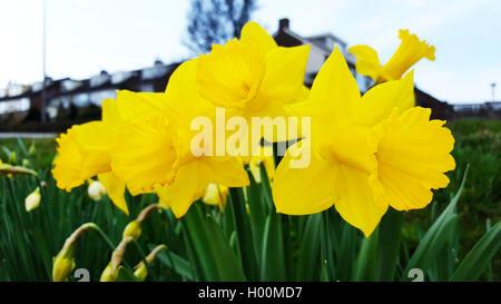 Narzisse, Osterglocke (Narcissus spec.), Trompetennarzissen, bluehend im Zierrasen, Deutschland | daffodil (Narcissus - Stock Photo